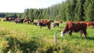 Cows on pasture - Коровы на пастбище