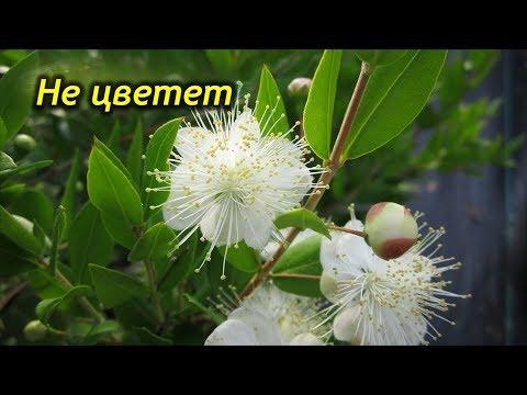 Почему Мирт не цветет? Причины и что делать. Как заставить зацвести Миртовое дерево.