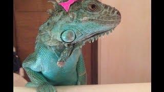 Should you own an iguana?