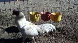 pure white sonatol asil stag and pullet