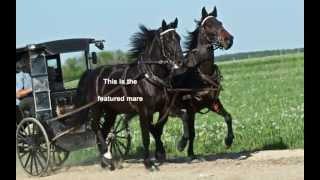 Dutch Harness Horse Crossbred Mare For Sale