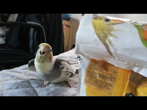 Cockatiel sings