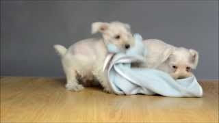 White Schnauzer Puppies Playing With A Blankie