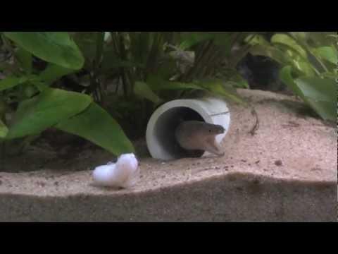 Impressive eel feeding!
