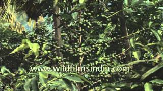 Coffee cultivation in Southern India
