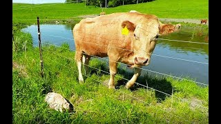 Mother cow clearly asks man to rescue her newborn calf thumbnail