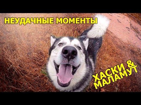 Неудачные моменты с хаски на прогулке / epic fails with husky on a walk