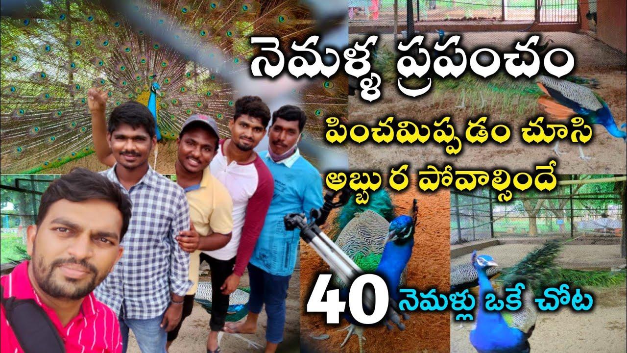 వామ్మో 40 నెమళ్లు ఒకే చోట ఉన్నాయి | Village Vihari