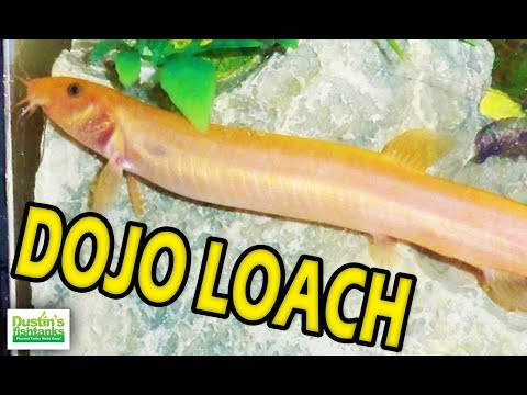 Great Beginner Fish: Dojo Loach Species Sunday Weather Loaches