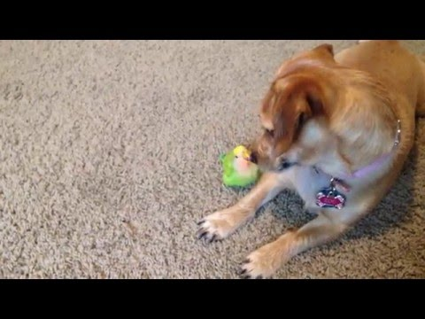 Dog and lovebird playing