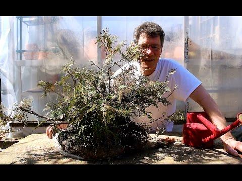 Potting a Newly Collected Cedar Bonsai, April 2016