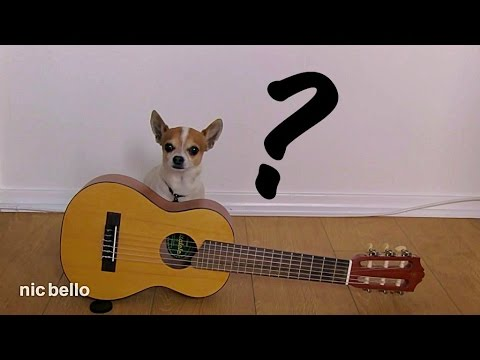 Guitar lesson to my chihuahua Pancho