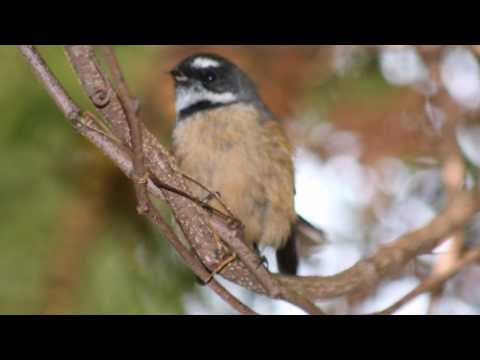 Peaceful And Relaxing Birdsong - 12 Hours Of New Zealand Birdsong