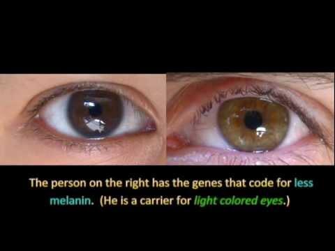 genetics and eye color youtube