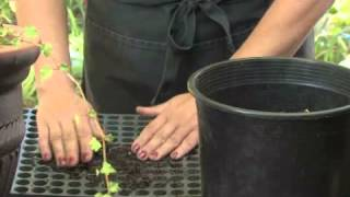 How to Grow Morning Glories From Seed