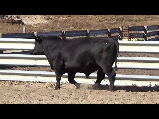 Connealy Angus Lot 129