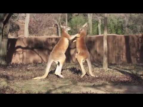 Kangaroo | Lone Pine Koala Sanctuary Zoo | Australia