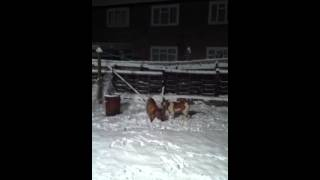 Dogue De Bordeaux And American Bulldog X Playing In Snow