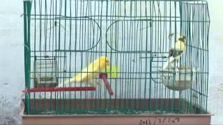 تزاوج الكناري...Canary accouplé