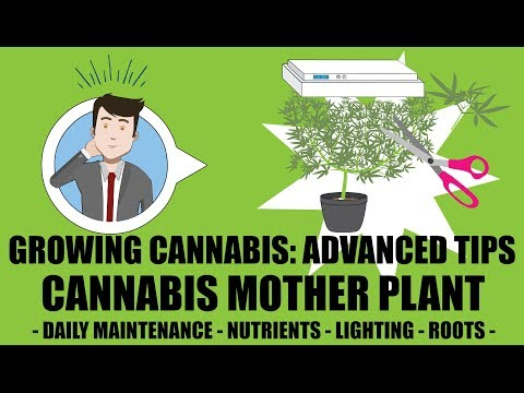 How To Grow And Maintain A Mother Cannabis Plant - Growing Cannabis 201: Advanced Grow Tips