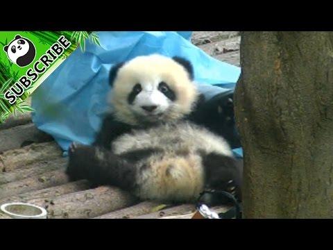 how to become a panda nany