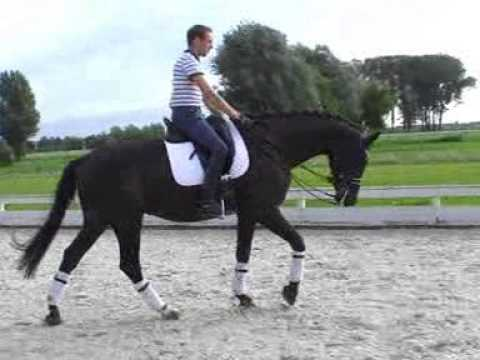 Wifi - Dutch Dressage Horse from Holland