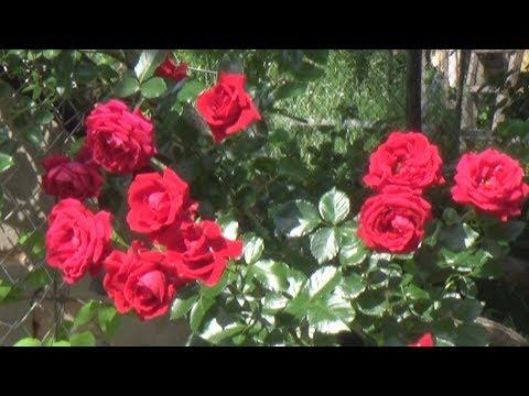 Красная плетистая роза - цветение