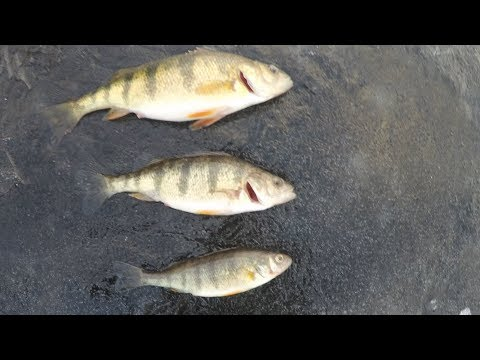 Catch and Cook Perch!!! How to Catch, Clean, And Cook Perch!!!