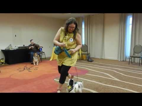 Japanese Chin service dog dancing to fiddle