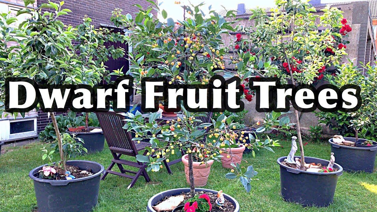 DWARF FRUIT TREES In Containers - YouTube