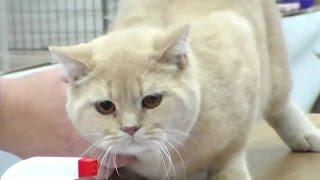 Британская Короткошерстная Лапулечка, Породы Кошек