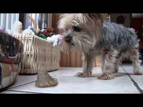 George the Yorkshire Terrier