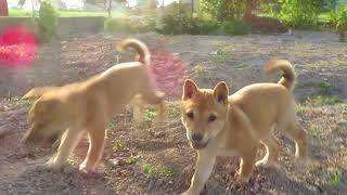 元気よく畑を走り回る山陰柴犬の子犬兄妹です。