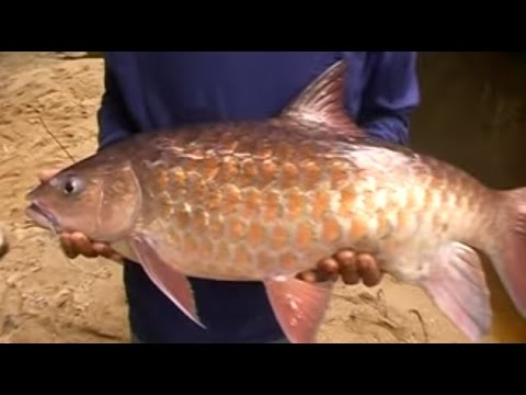 Mancing Ikan Semah Besar besar di Hutan lindung