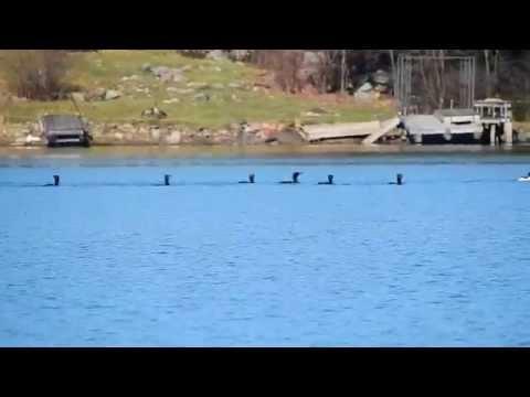 Cormorants Catching Smelt
