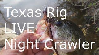 Texas Rig Live Night Crawlers - Bass Fishing