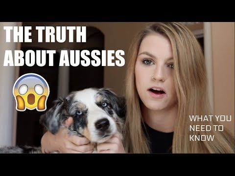 10 THING TO KNOW BEFORE GETTING AN AUSTRALIAN SHEPARD