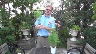 How to Grow and Care cosmos 1