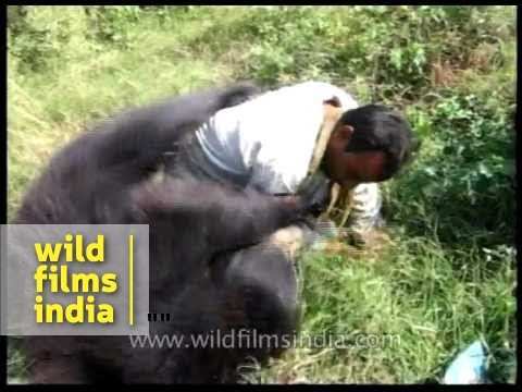 Tame sloth bear overpowers its handler in Assam - YouTube