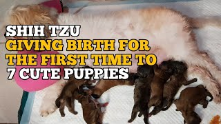 SHIH TZU GIVING BIRTH TO 7 PUPPIES   GIVING BIRTH FOR THE FIRST TIME   VLOG #73
