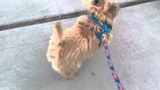 Nibbler The Cairn Terrier's Daily Exercise Routine:  Leg Lifts
