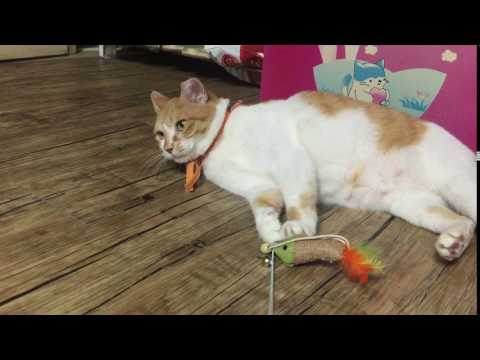 Korean shorthair cat NABI 고양이 나비