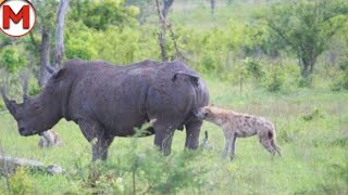Убил с Удара! Битвы Животных Снятые на Камеру