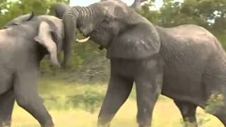 """Walka Słoni - dziki świat przyrody Afryki ,, Safari"""""""