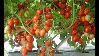 Cara Budidaya Tanaman Tomat yang baik panen melimpah tanpa musim 081225244539 PIN: D3136965
