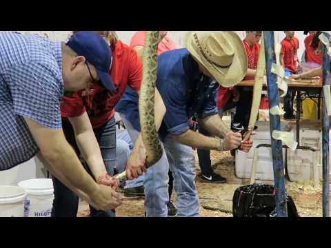Sweetwater Rattlesnake Roundup 2017 (WARNING: GRAPHIC CONTENT)