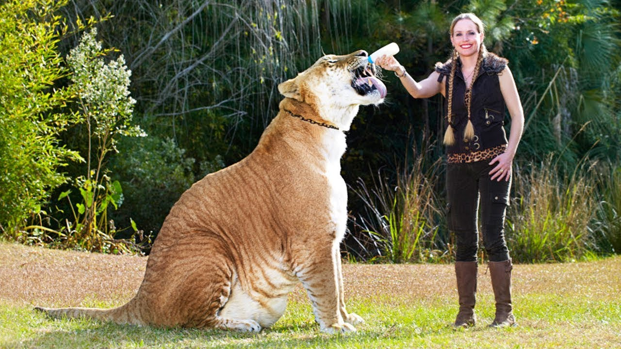 Temporarily Lost | Tiger Kingdom 59 – Largest Tiger  |Biggest White Tiger In The World
