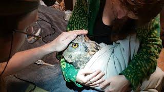 Сколько нужно зоологов, чтобы спилить Ёлку под самый корешок? Обработка клюва филина