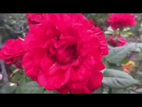 "Роза ""Ред Интуишн""  Утро в саду!"