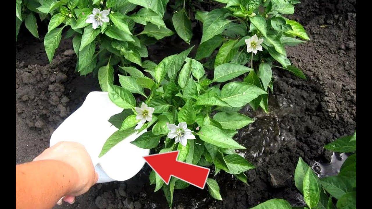 Бомба роста для перца! Подкормите этим перец в период цветения и плодоношения для огромных плодов!